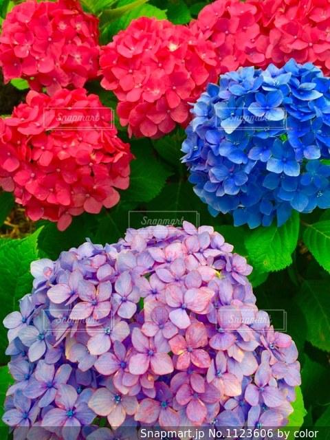 紫陽花の写真・画像素材[1123606]