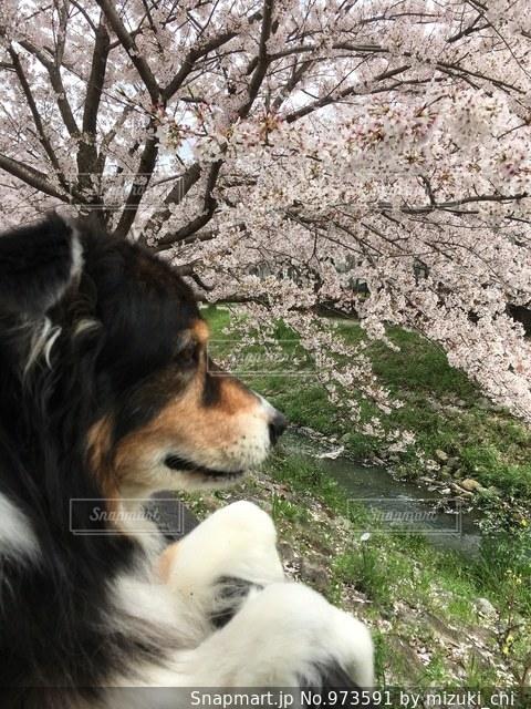 お花見をする犬の写真・画像素材[973591]