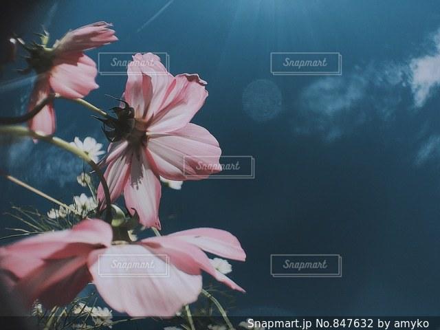 コスモスと青空の写真・画像素材[847632]