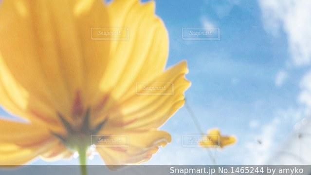 青空コスモスの写真・画像素材[1465244]