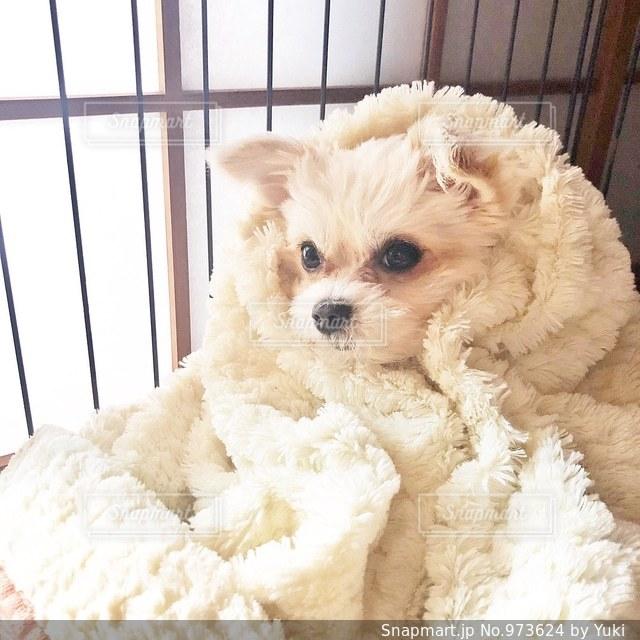 小さな白い犬の写真・画像素材[973624]
