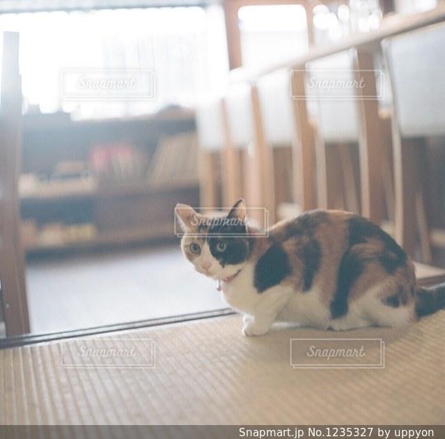 カメラを見ている猫の写真・画像素材[1235327]