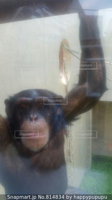 カメラにポーズを鏡の前で座っている猿の写真・画像素材[814834]