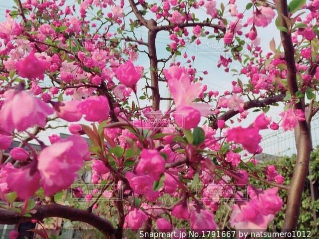 植物にピンクの花の写真・画像素材[1791667]