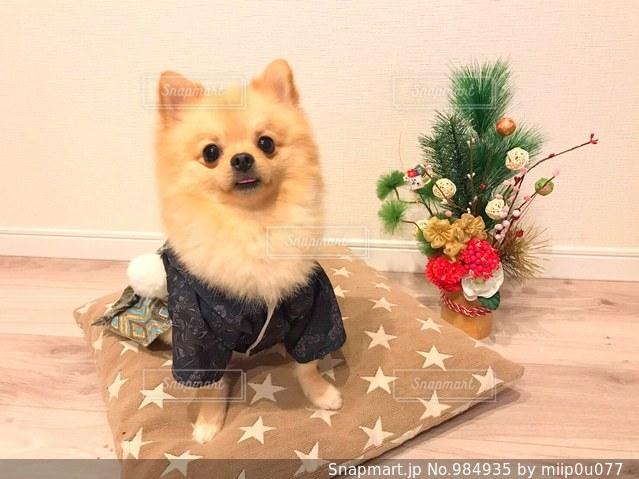 お正月犬の写真・画像素材[984935]