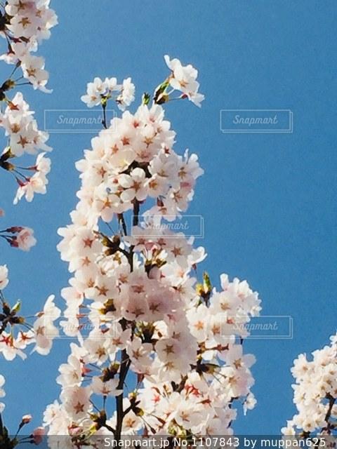 年々大きくなる桜の木の写真・画像素材[1107843]