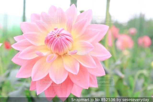 近くの花のアップの写真・画像素材[852536]