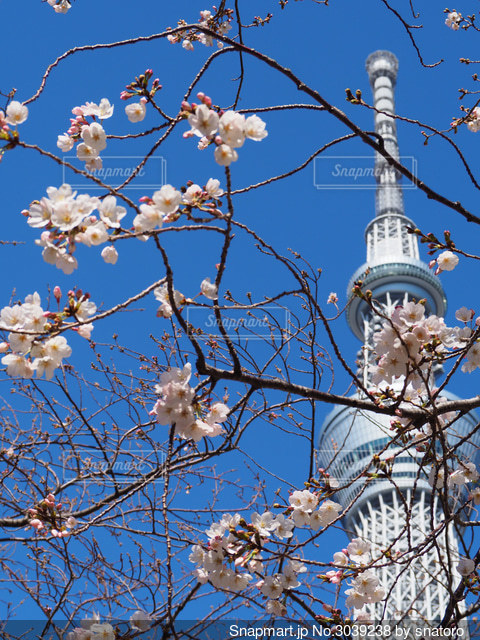スカイツリーと桜の写真・画像素材[3039238]