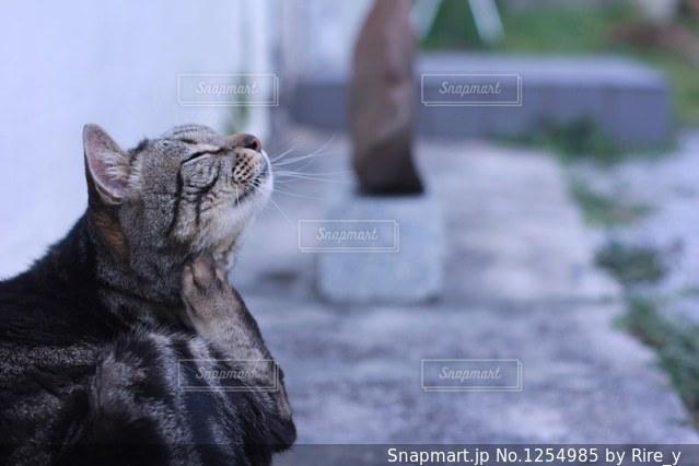 カメラを見ている猫の写真・画像素材[1254985]