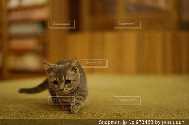 部よちよち歩きの猫の写真・画像素材[973463]