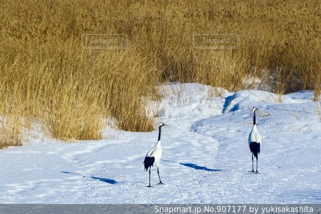 雪の中を歩いて鳥の写真・画像素材[907177]