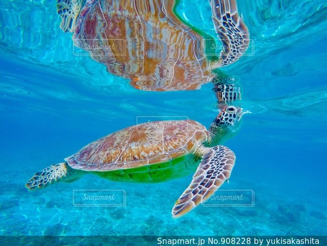 水の下で泳ぐ海亀の写真・画像素材[908228]