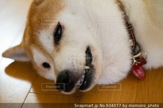 怒り柴犬の写真・画像素材[934077]