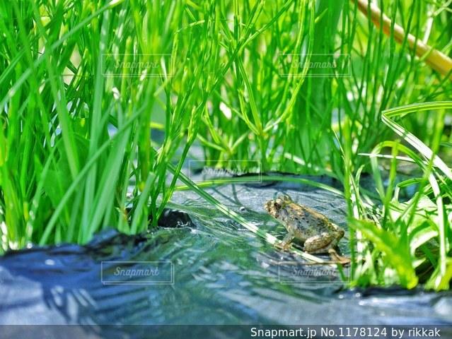 緑のカエルの写真・画像素材[1178124]
