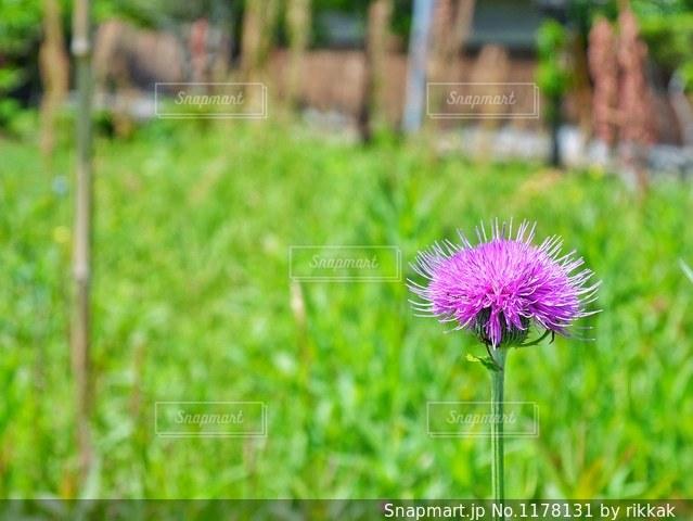フィールドに紫の花の写真・画像素材[1178131]