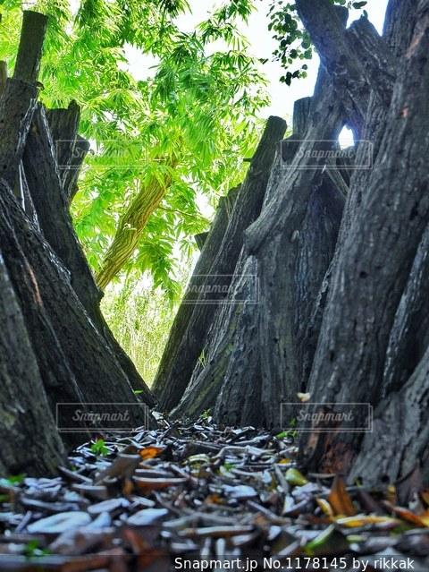 フォレスト内のツリーの写真・画像素材[1178145]