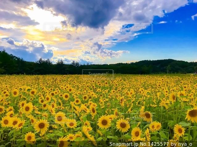 SUN FLOWERの写真・画像素材[1425577]