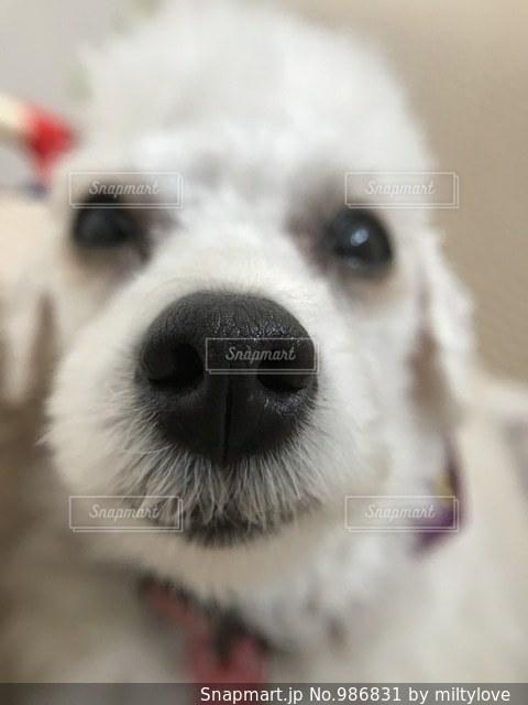 鼻でかの写真・画像素材[986831]