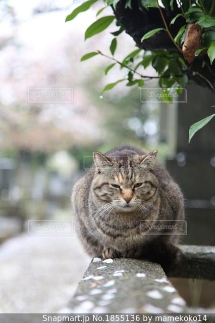猫の花見の写真・画像素材[1855136]