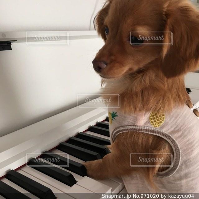 カメラを見て茶色と白犬の写真・画像素材[971020]