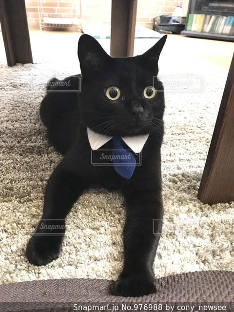 ビシッと決める日はネクタイ猫の写真・画像素材[976988]