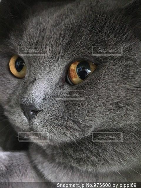 近くに緑目のグレー猫のアップの写真・画像素材[975608]