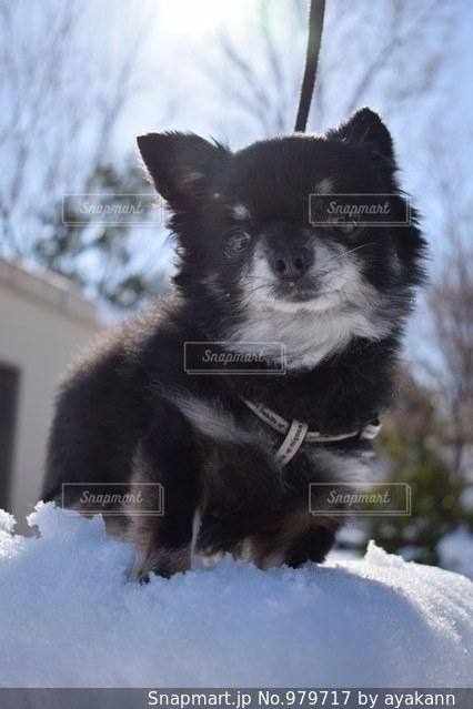 雪の中で座っている犬の写真・画像素材[979717]