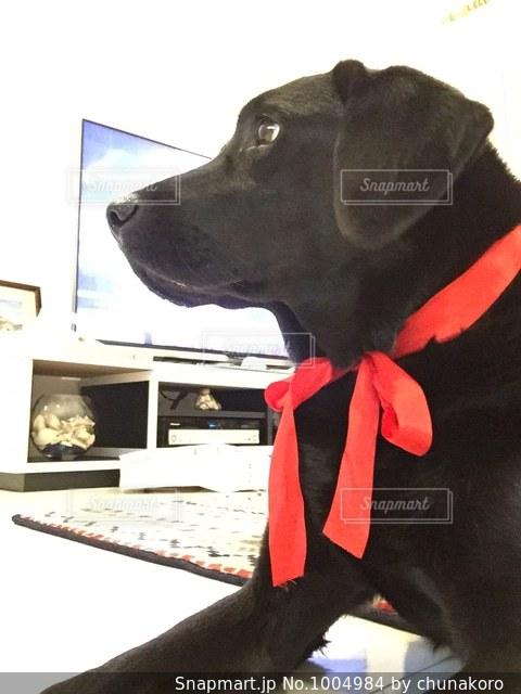 赤いリボン犬の写真・画像素材[1004984]