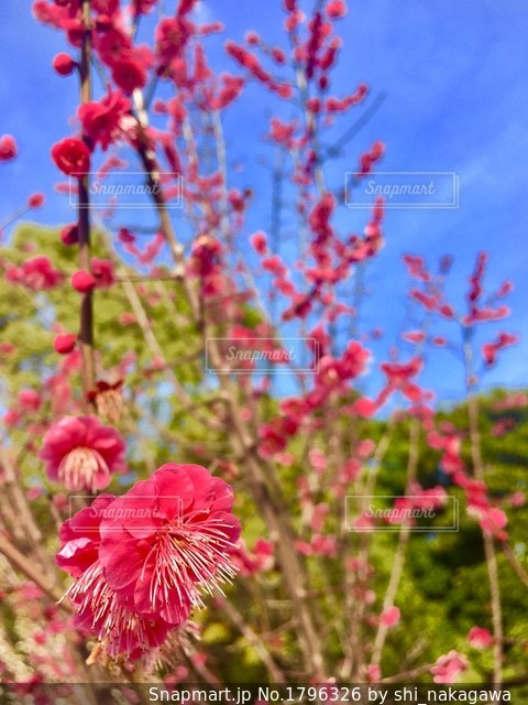 植物にピンクの花の写真・画像素材[1796326]
