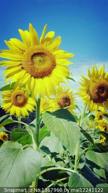 近くに黄色い花のアップの写真・画像素材[1367960]