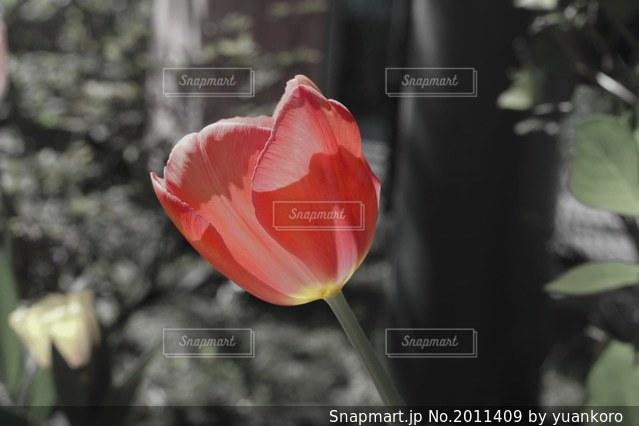 赤いチューリップの写真・画像素材[2011409]