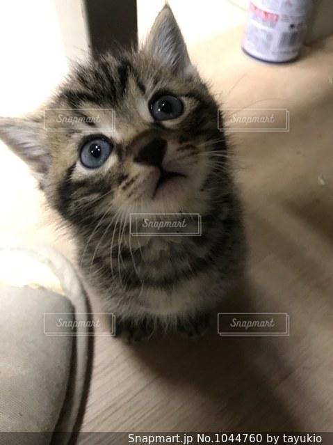 カメラを見ている猫の写真・画像素材[1044760]