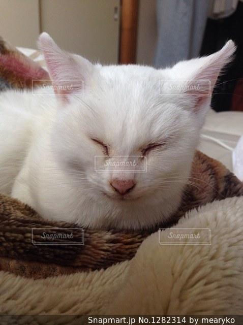 毛布の上に横になっている茶色と白の猫の写真・画像素材[1282314]