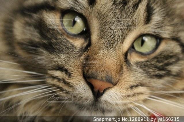 近くにカメラを見て青目のグレー猫のアップの写真・画像素材[1288911]