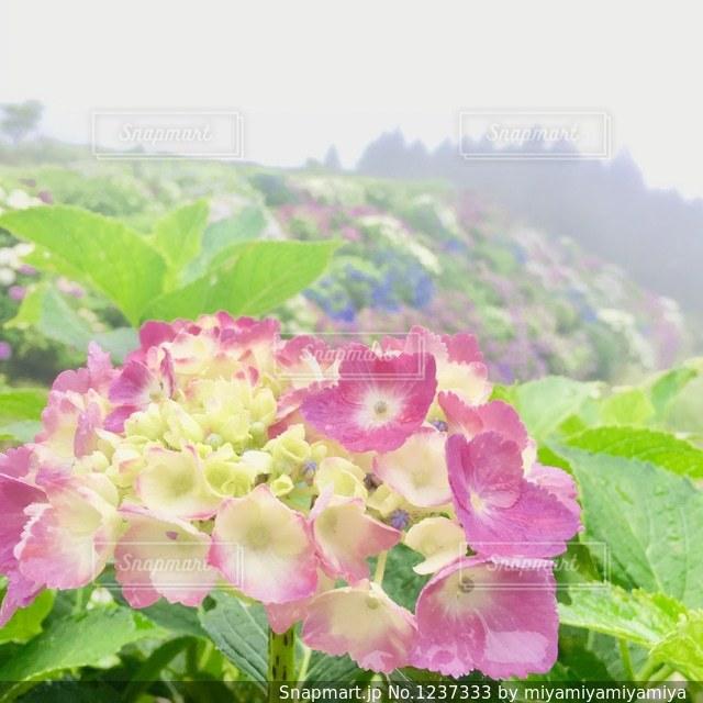 紫陽花の写真・画像素材[1237333]