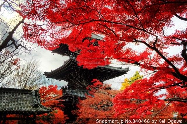 森の中の赤いツリーの写真・画像素材[840468]