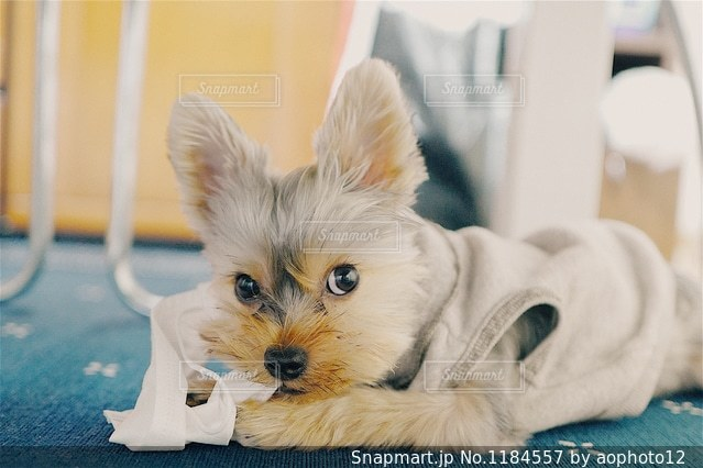テーブルの上に座っている犬の写真・画像素材[1184557]