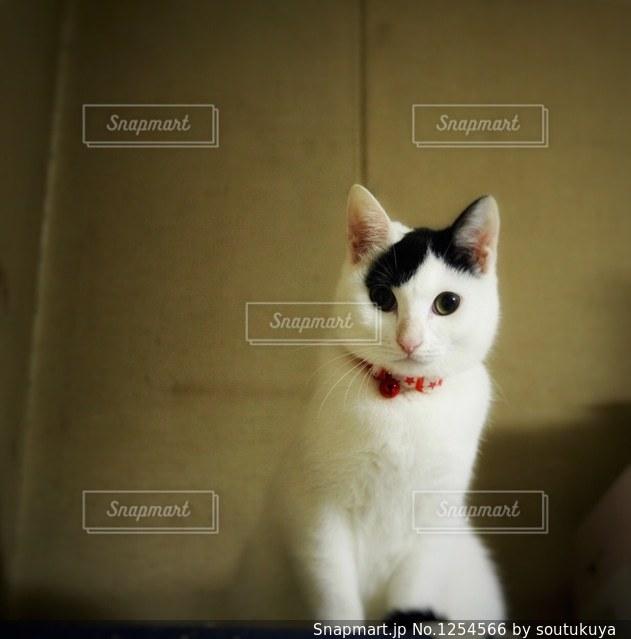その口を開いて白猫の写真・画像素材[1254566]