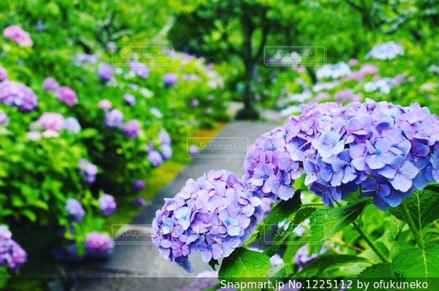 雨の日の美しい紫陽花の写真・画像素材[1225112]