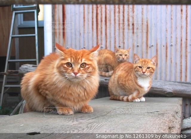 茶トラの野良猫兄弟の写真・画像素材[1261309]