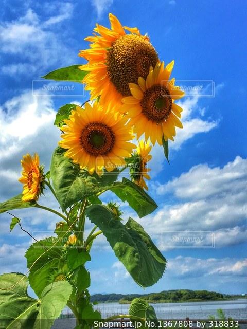 水辺の花の写真・画像素材[1367808]