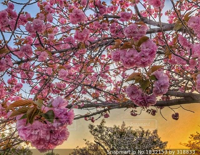 ピンクの花の木の写真・画像素材[1832153]