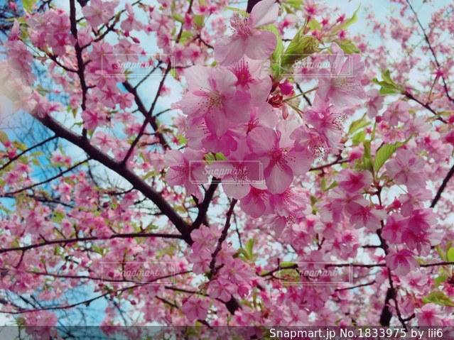 ピンクの花の木の写真・画像素材[1833975]