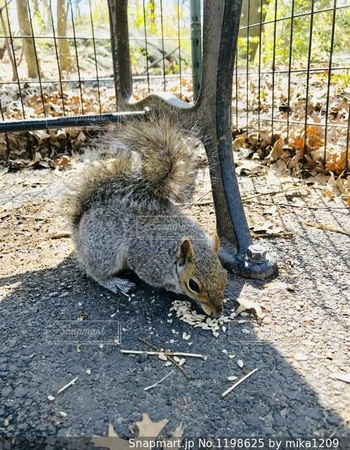 セントラルパークでエサを食べるリスの写真・画像素材[1198625]
