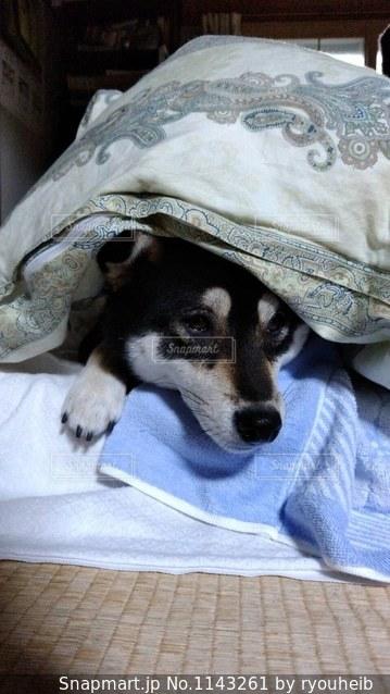 布団で寝る愛犬の写真・画像素材[1143261]