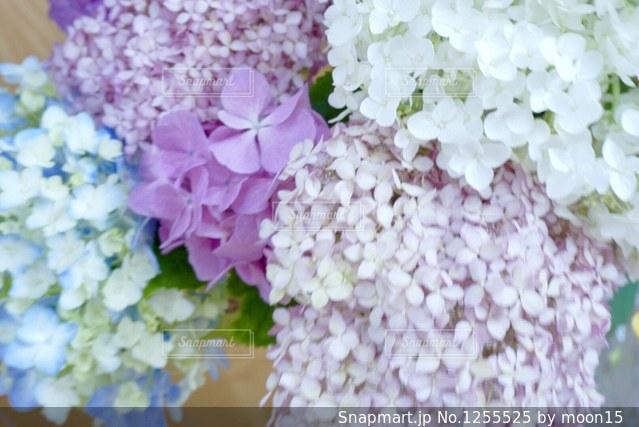 優しい色の紫陽花の写真・画像素材[1255525]