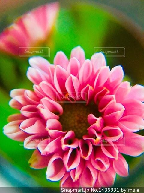 ピンク色の小菊のアップの写真・画像素材[1436831]