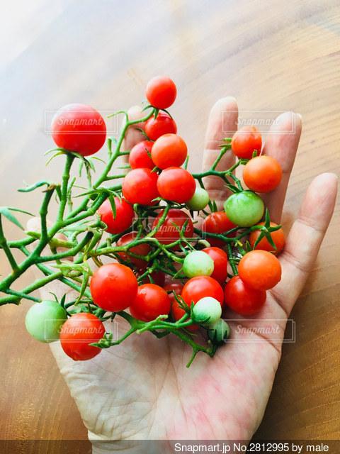 ミニトマトの写真・画像素材[2812995]