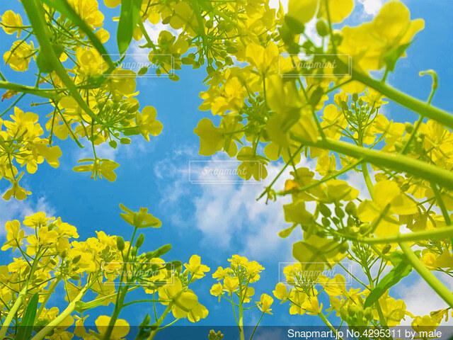 菜の花と青空の写真・画像素材[4295311]