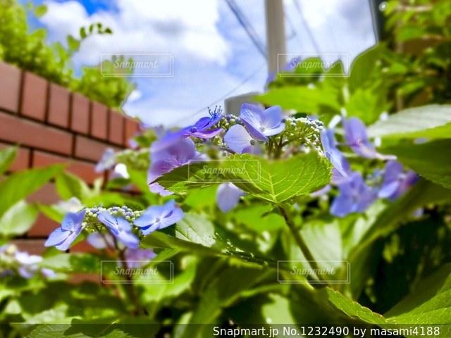 雨に負けない紫陽花パワーで青空が見えました。の写真・画像素材[1232490]